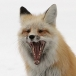 cropped-red-fox-1139351_640